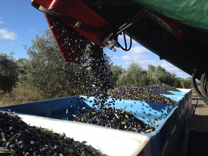 salute-oliva-olive-harvest
