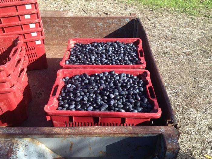 img_1706_salute-oliva-kalamata-olives